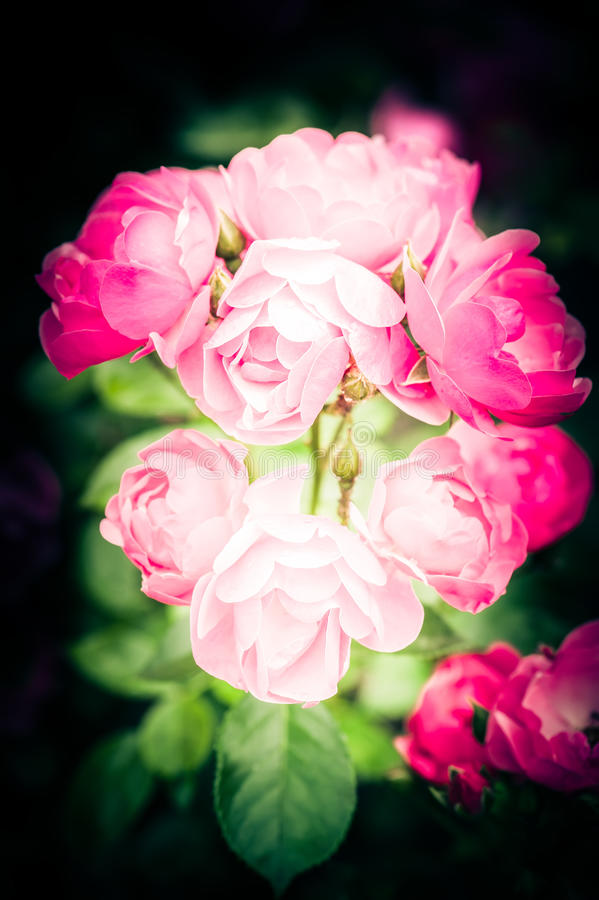 Flores rosadas románticas de las rosas fotos de archivo
