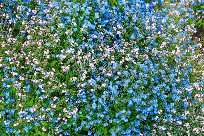 Flores rosadas y azules de la nomeolvides imágenes de archivo libres de regalías