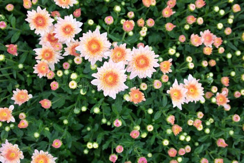 Flores rosadas y blancas del crisantemo imagenes de archivo