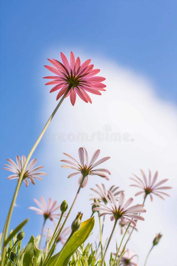 Flores rosadas y blancas del osteospermum imágenes de archivo libres de regalías