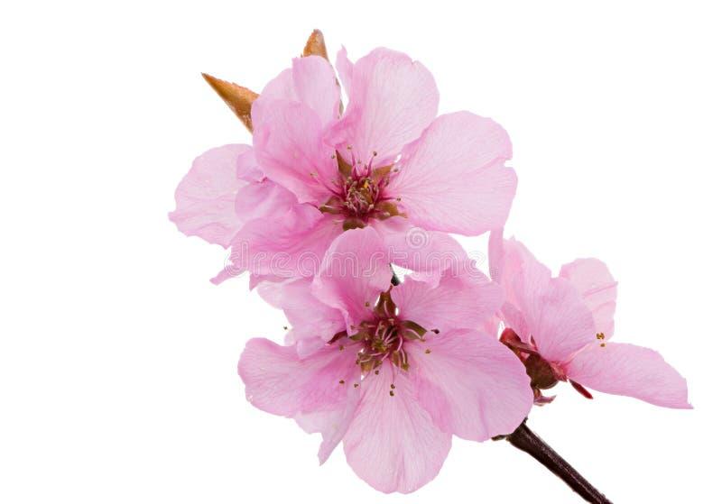 Flores rosados aislados del melocotón foto de archivo