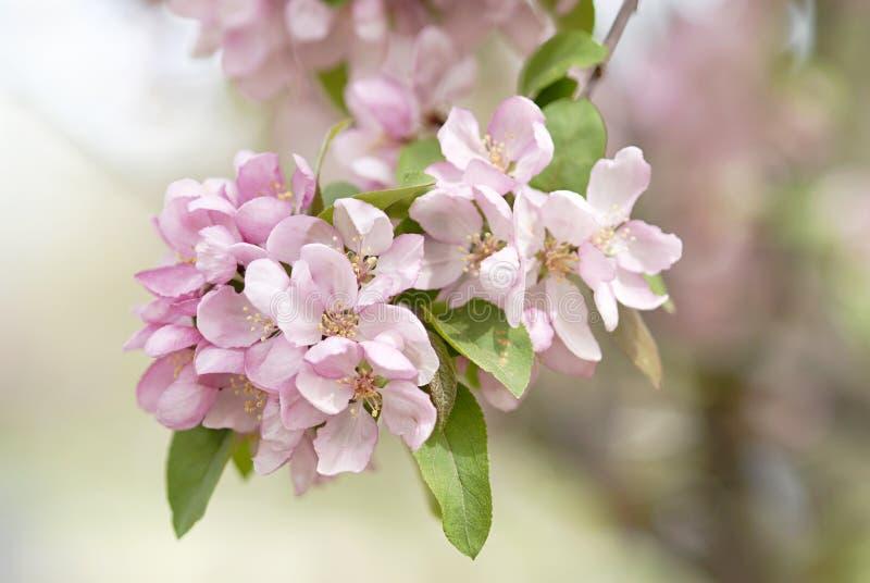 Flores rosados de Crabapple foto de archivo