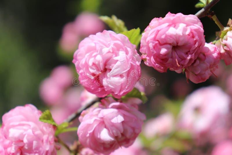 Flores rosados de la almendra floreciente en casa fotos de archivo