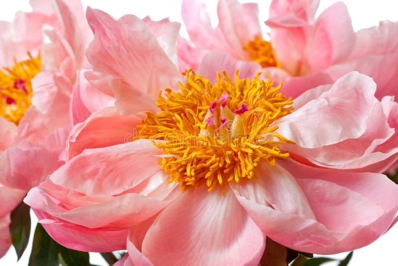 Flores rosados de la peonía aislados imagen de archivo