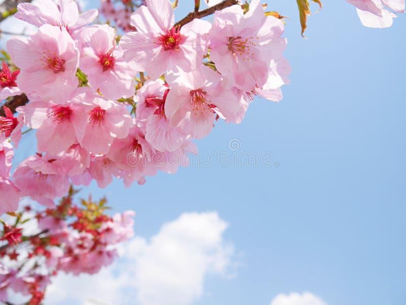 Flores rosados de Sakura debajo del cielo azul fotografía de archivo