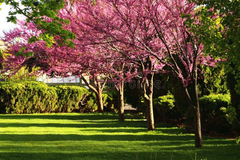 Flores rosados del árbol fotos de archivo