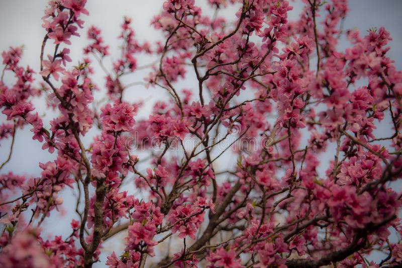 Flores rosados del melocotón en primavera fotos de archivo libres de regalías