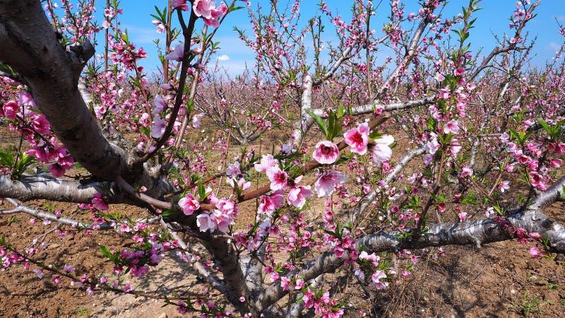 Flores rosados del melocot?n fotografía de archivo libre de regalías