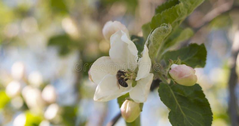 Flores rosas claras en manzano con la abeja en día soleado imagen de archivo