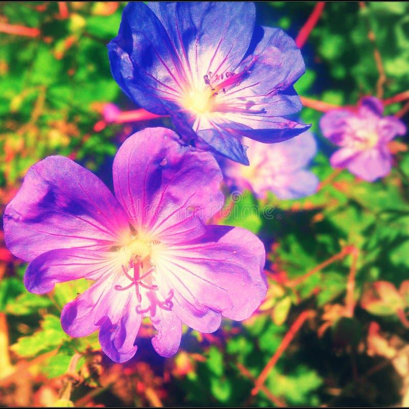 Flores roxas imagem de stock