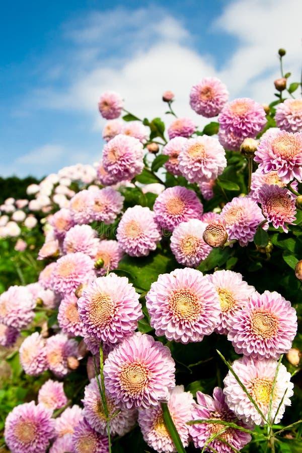 Flores roxas bonitas imagem de stock