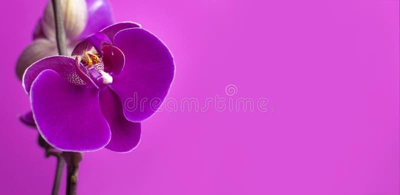 Flores roxas bonitas da orquídea do Phalaenopsis no fundo cor-de-rosa brilhante Flor tropical, ramo do fim da orquídea acima Orqu imagem de stock