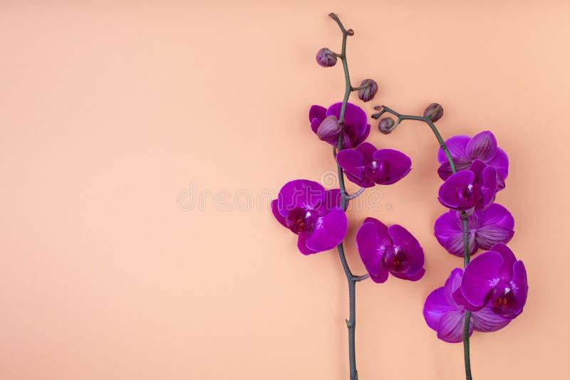 Flores roxas bonitas da orquídea no fundo bege, com copyspace para o texto, vista superior, configuração lisa imagem de stock