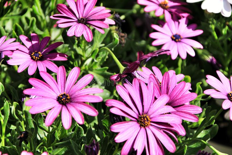 Flores roxas bonitas de Dimorphoteca no jardim fotografia de stock royalty free