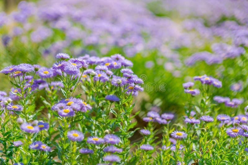 Flores roxas bonitas, fundo natural do verão, imagem borrada Conceito inspirado da natureza fotografia de stock royalty free