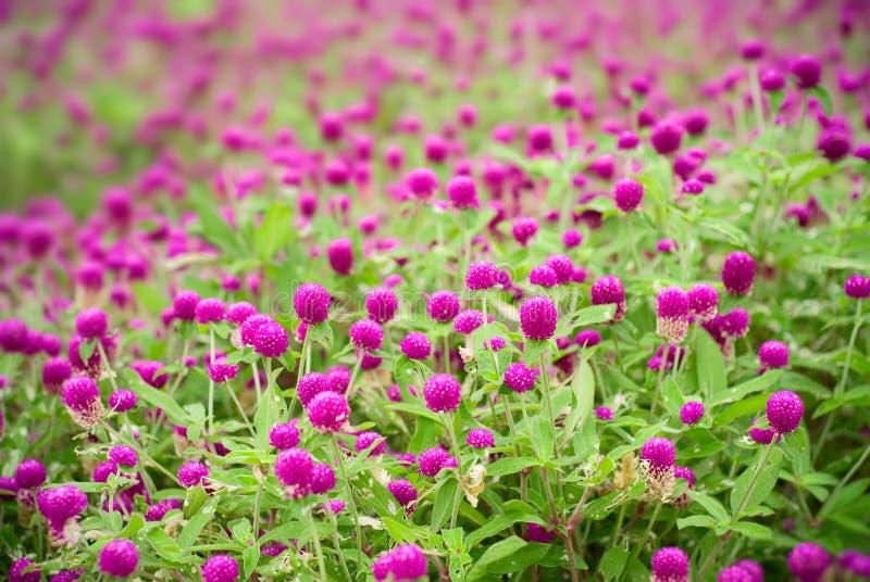 Flores roxas bonitas - globosa do gomphrena fotos de stock royalty free