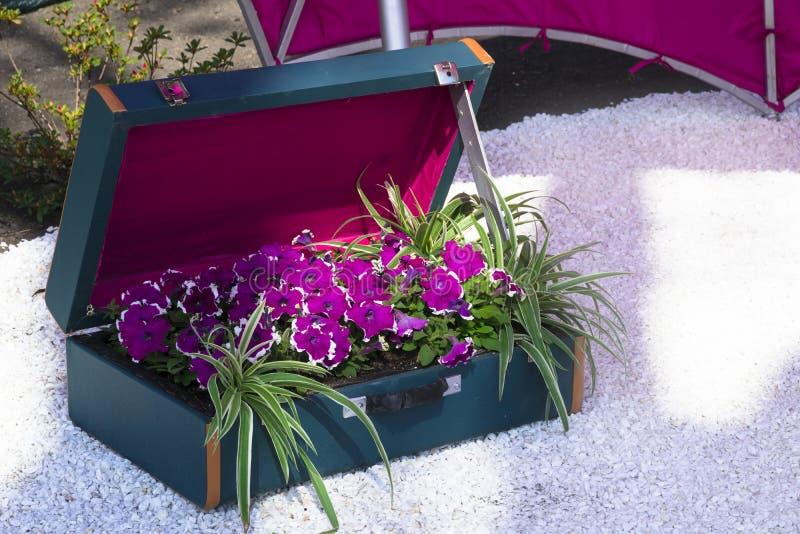 Flores roxas brilhantes do petúnia com afiação branca em uma mala de viagem azul imagens de stock royalty free