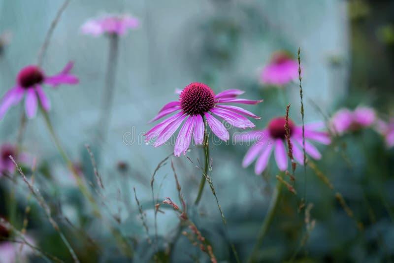 Flores roxas brilhantes em um canteiro de flores da rua em um dia ensolarado Fundo colorido pitoresco natural fotografia de stock