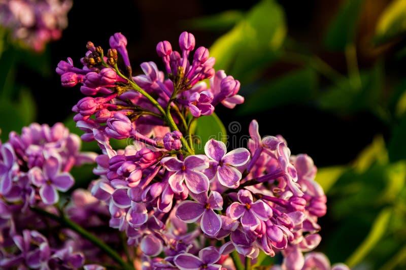 Flores roxas com fundo borrado foto de stock