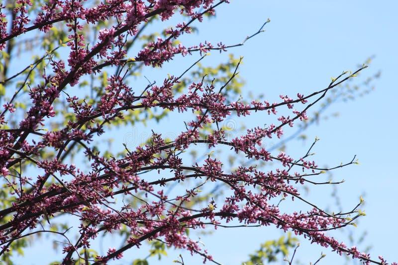 Flores Roxas contra o Céu Azul imagens de stock