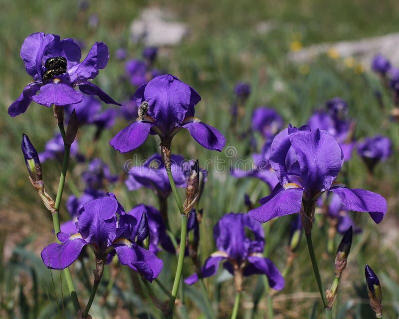 Flores roxas da íris de Illyrian - nome latino - illyrica da íris na região do cársico da natureza foto de stock royalty free