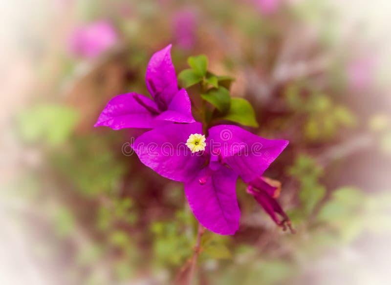 Flores roxas da buganvília na natureza imagem de stock royalty free