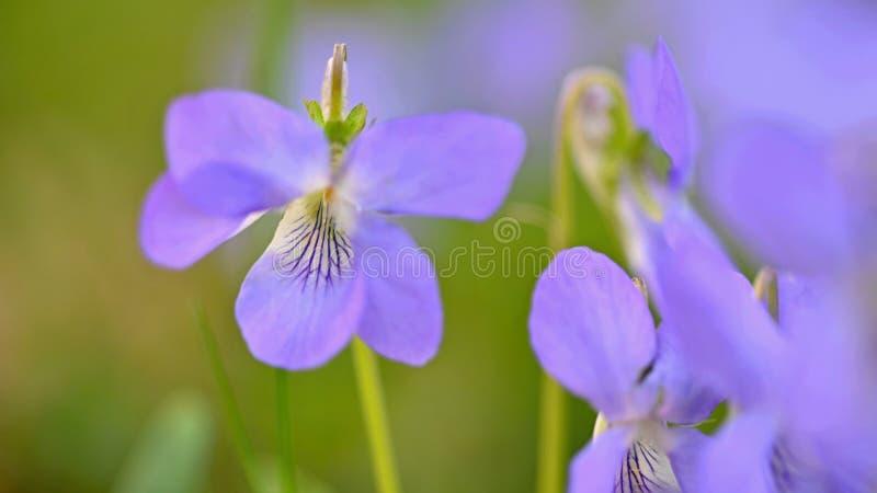 Flores roxas da mola bonita na grama Primeiras flores da mola Odorata da viola imagens de stock royalty free