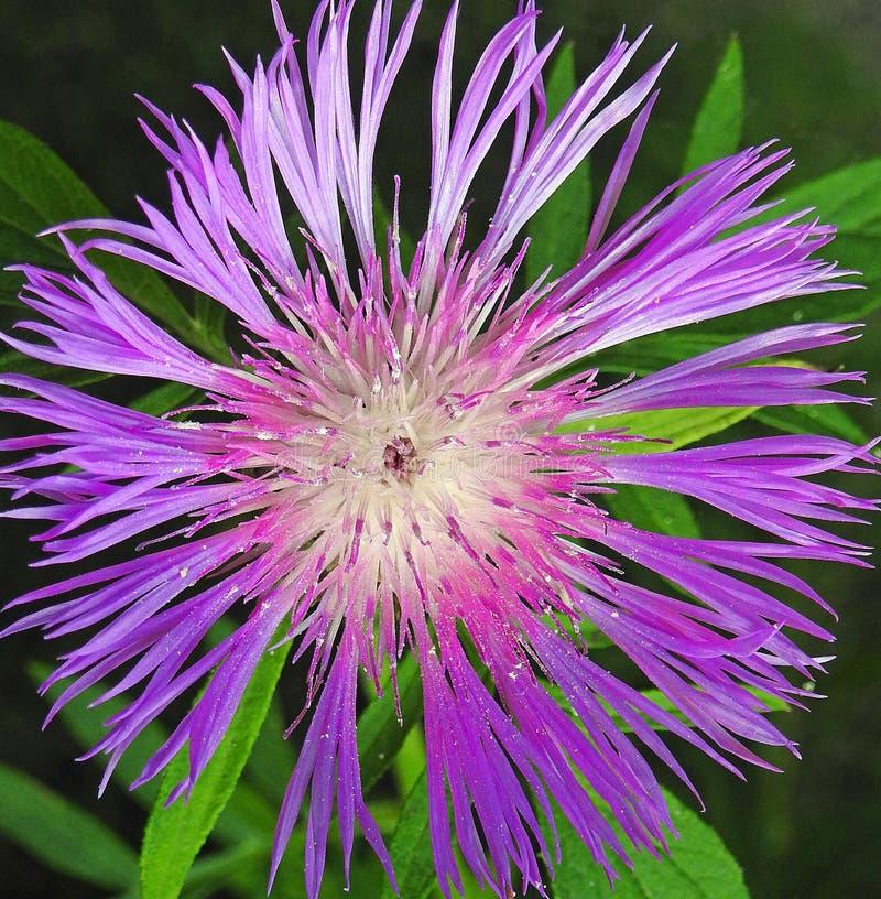 Flores roxas da mola do verão da horticultura das plantas da flor da estrela imagem de stock
