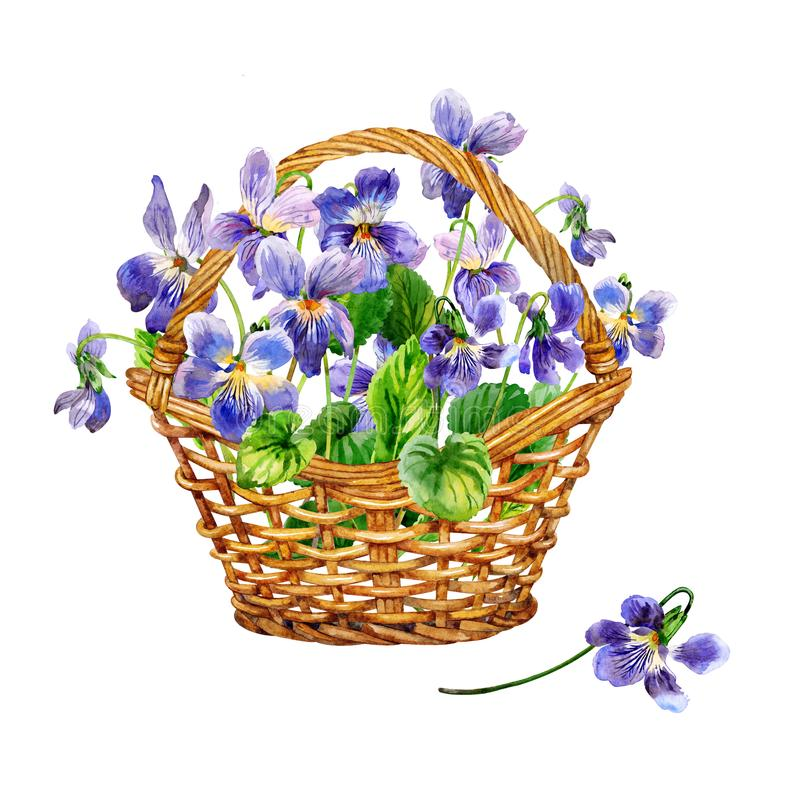 Flores roxas da mola um ramalhete de violetas perfumadas Cesta das violetas watercolor ilustração stock
