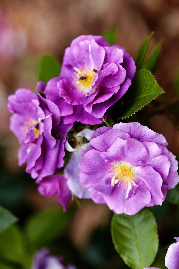 Flores roxas das rosas no contexto do bokeh Fundo floral com foco seletivo macio Imagem matizada estilo do vintage fotografia de stock