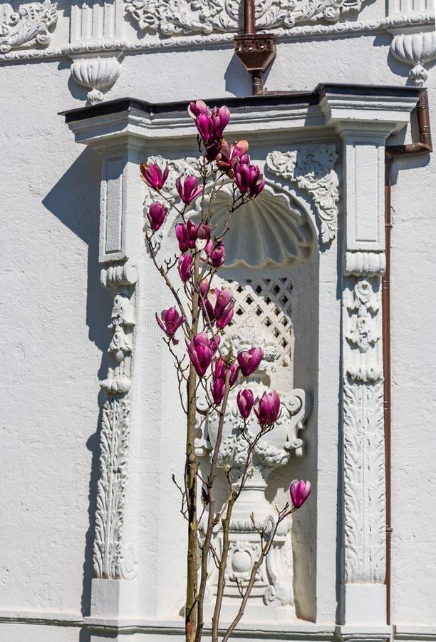 Flores roxas de florescência bonitas em um arbusto contra a parede branca em Istambul, Turquia imagem de stock royalty free