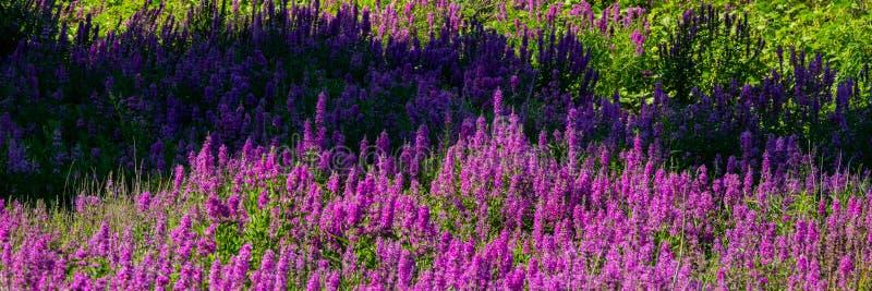 Flores roxas de florescência no prado fotografia de stock royalty free