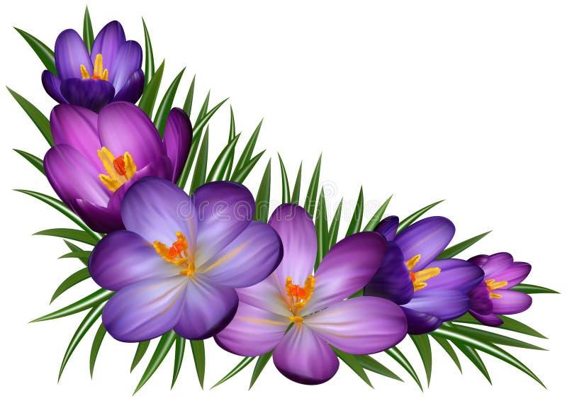 Flores roxas do açafrão ilustração royalty free
