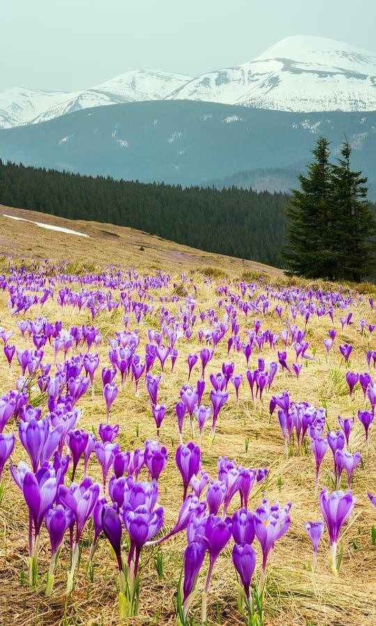 Flores roxas do açafrão na montanha da mola fotos de stock