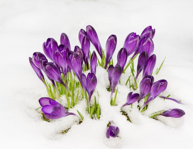 Flores roxas do açafrão na neve imagens de stock royalty free