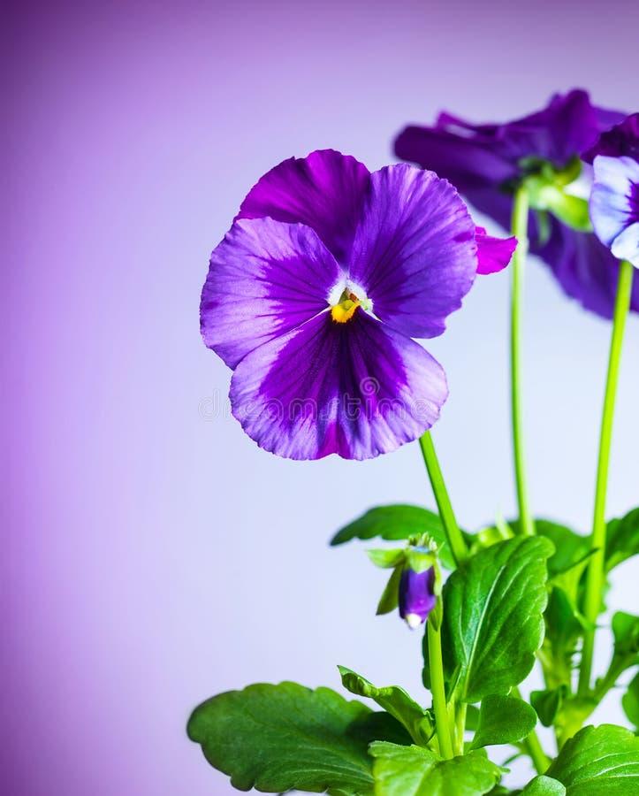Flores roxas do amor perfeito imagem de stock royalty free