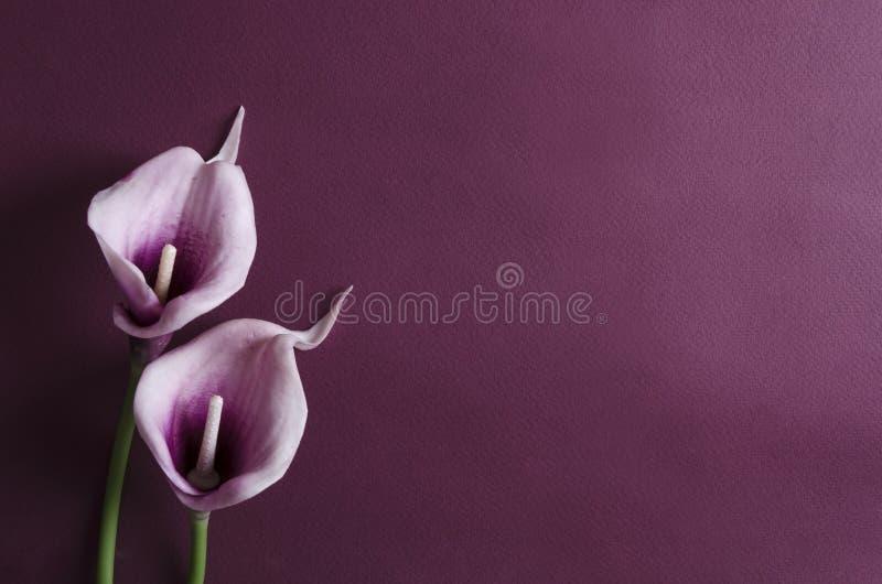 Flores roxas do calla no fundo violeta Espa?o vazio para o projeto imagens de stock