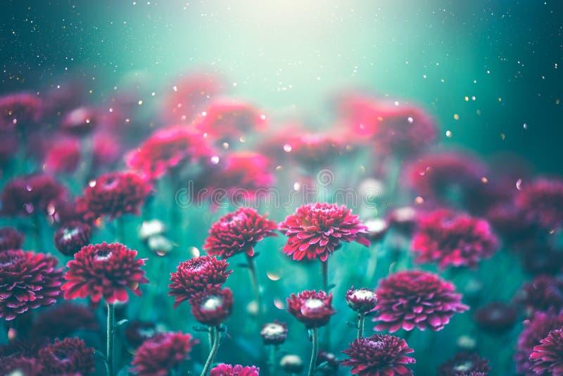 Flores roxas do crisântemo que florescem em um jardim Projeto da arte das flores do outono imagem de stock royalty free