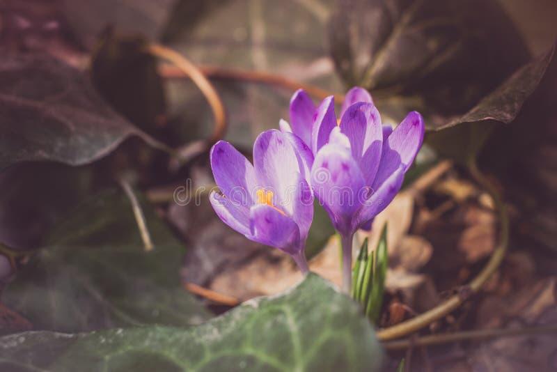 Flores roxas do heuffelianus do açafrão, foto do vintage Tempo de mola, plantas da prímula fotos de stock