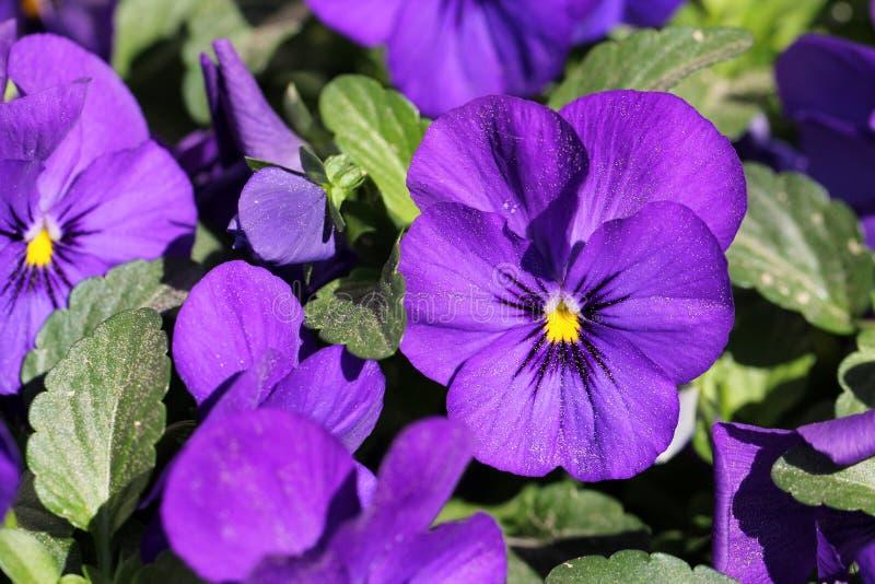 Flores roxas do Pansy imagem de stock