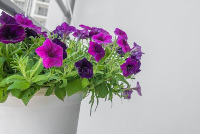 Flores roxas do petunia fotografia de stock