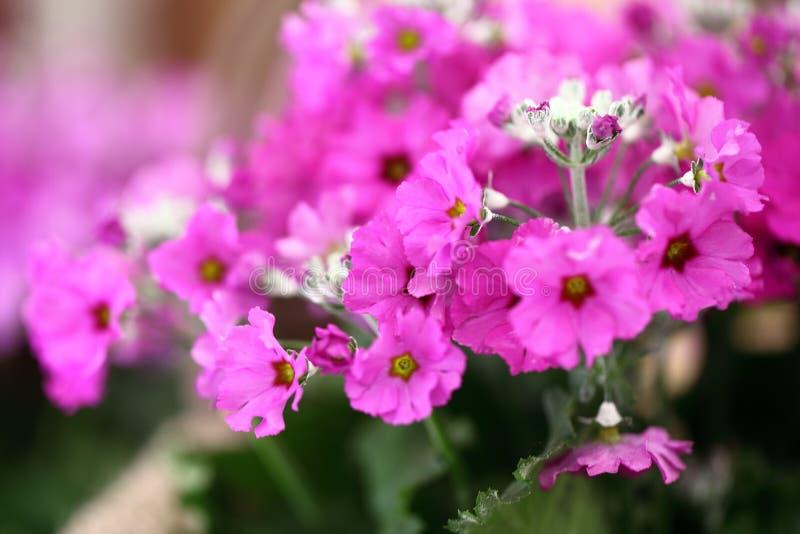 Flores roxas do Primrose imagens de stock royalty free