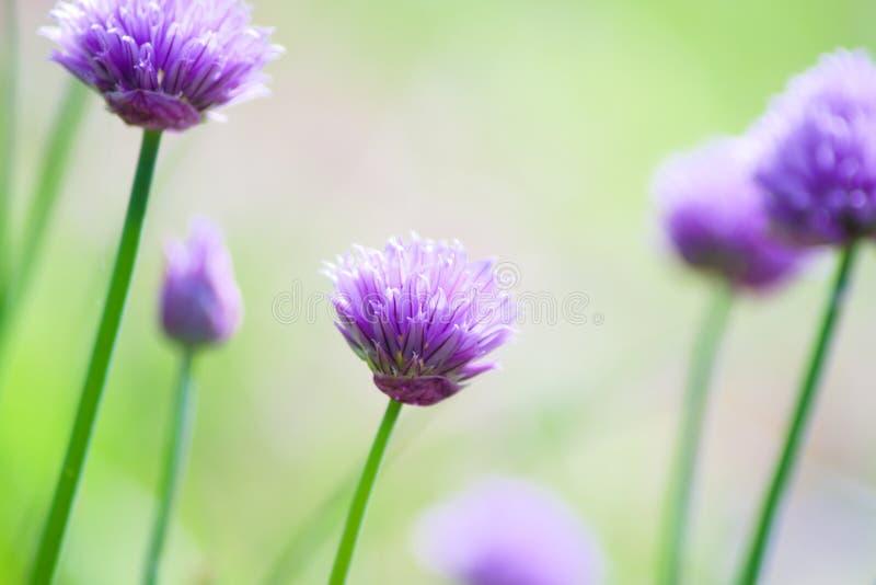 Flores roxas do ursinum do Allium das cebolas selvagens no jardim foto de stock royalty free