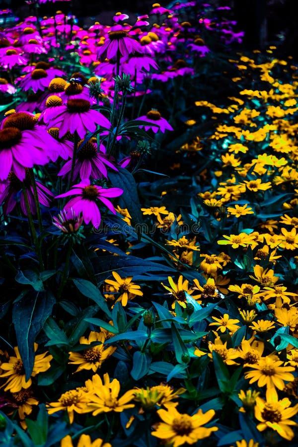 Flores roxas e amarelas fotografia de stock royalty free