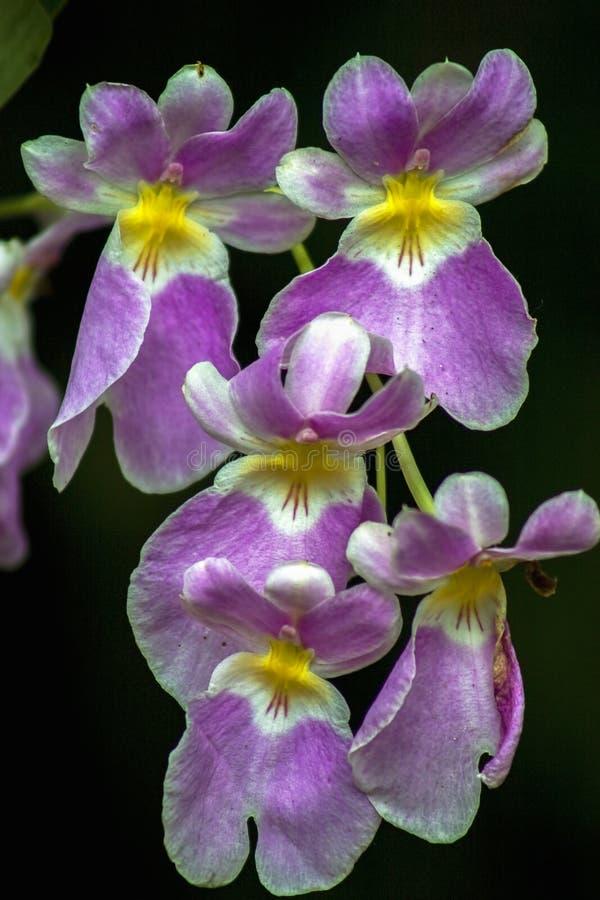 Flores roxas e amarelas da orquídea do miltonia fotografia de stock