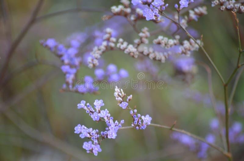 Flores roxas e campos verdes em um dia de ver?o Flores do Verbena contra um campo das flores, foco seletivo fotos de stock