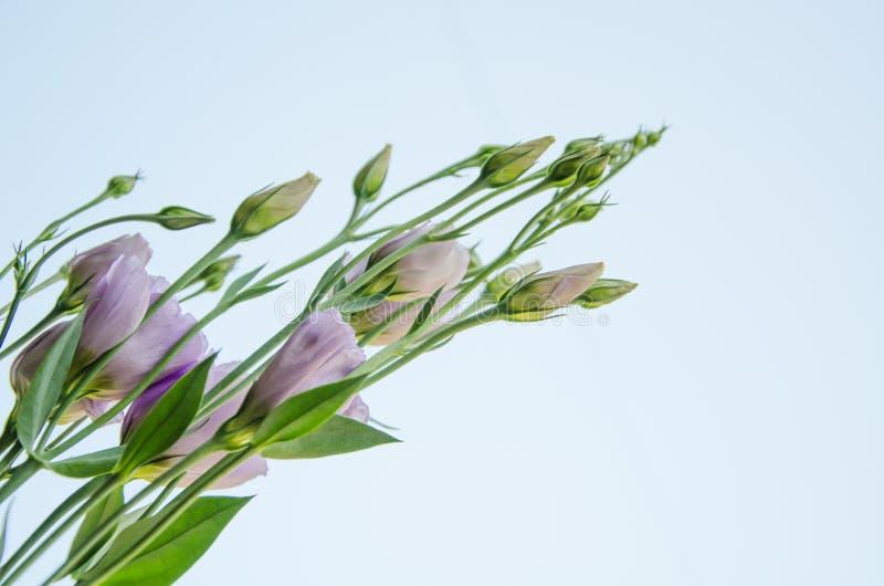 - Flores roxas e eustoma dos botões isolado em um claro - fundo azul claro fotografia de stock