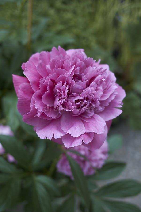 Flores roxas fechadas pela Paeonia suffruticosa shrub imagem de stock