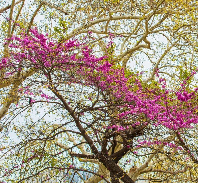 Flores roxas na árvore imagem de stock