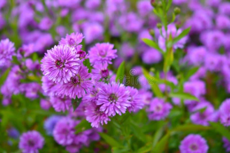 Flores roxas no jardim Fundo Conceito da natureza foto de stock royalty free